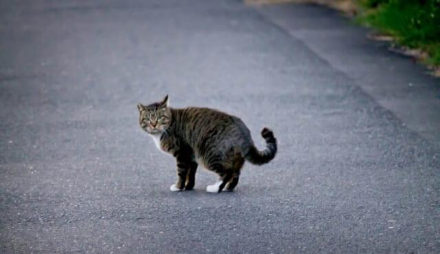 振り返って見つめる猫