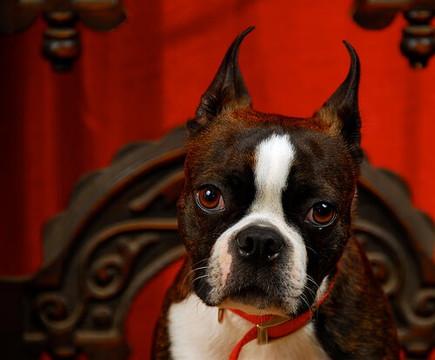 赤い壁の部屋でこちらを見つめているボストンテリア