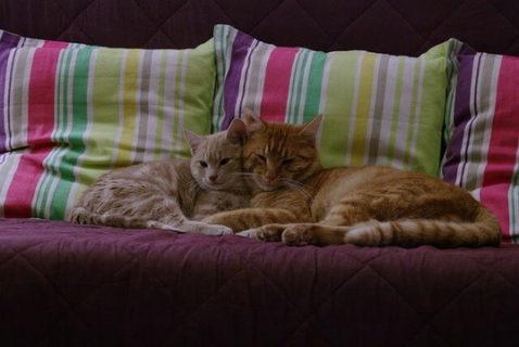 ソファで顔を寄せ合って寝る二匹の猫