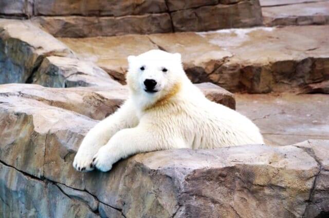 冬の動物園で出会ったシロクマ君