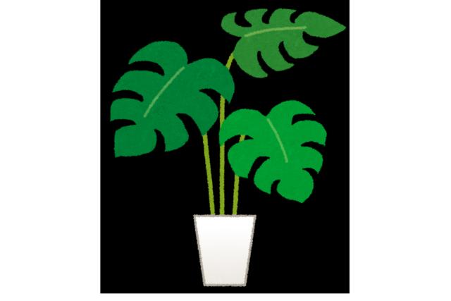 部屋に癒し効果を与える定番観葉植物のモンステラ