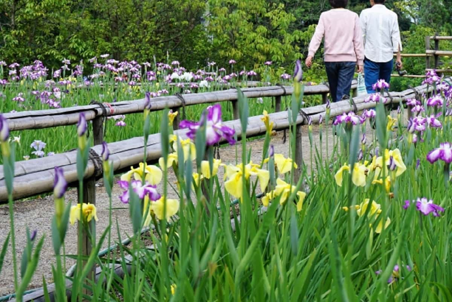 きれいに咲き誇る菖蒲園を穏やかな気持ちで散策するカップル