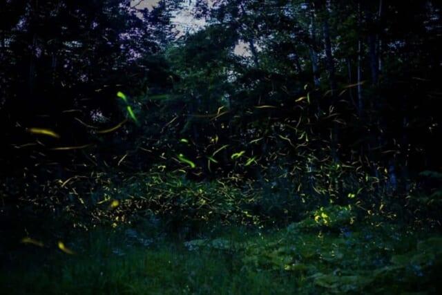 森林のなかで幻想的な空間をつくりだすホタルの光