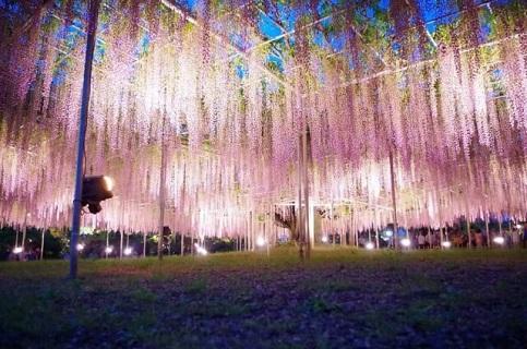 きれいに咲き誇るあしかがフラワーパークの大藤