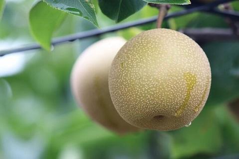 果物王国といわれている秋が旬の梨