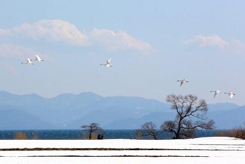 猪苗代湖で越冬をする白鳥たち