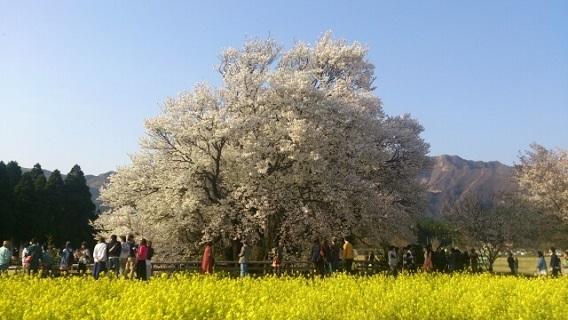 満開に咲き誇る一心行の大桜