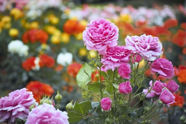 春のシーズン時期に咲き誇るバラ園のばら