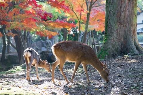 親子の鹿がのんびり食事をする穏やかな秋の奈良公園