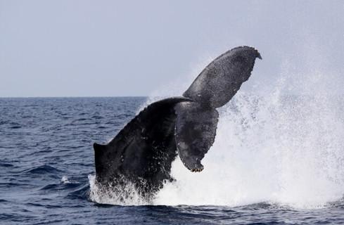 冬の沖縄の海におとずれた元気いっぱいに泳ぐザトウクジラ