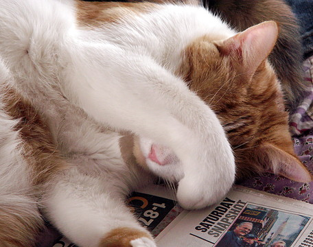 新聞の上で顔を隠す茶トラの猫