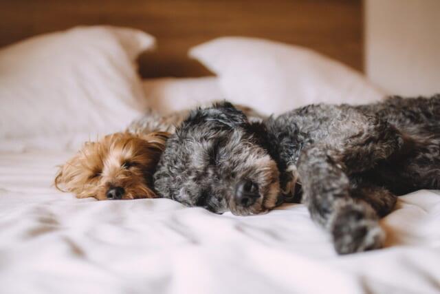 白いシーツの上でくっついて眠るトイプードルのカップル