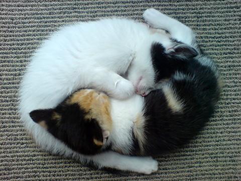 からだを寄せ合って丸くなる猫2匹