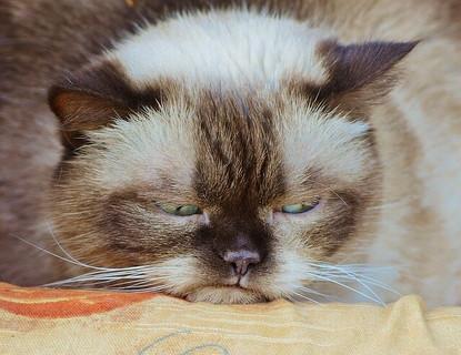 バレンタインに対する不満を顔いっぱいに浮かべふてくされる猫