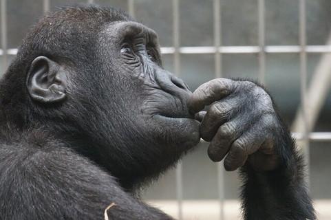 目標を一生懸命考えるチンパンジー