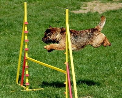 黄色い低いハードルを難なく乗り越える茶色の犬