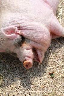 食後すぐに気持ち良さそうに眠る丸々と太ったブタさん