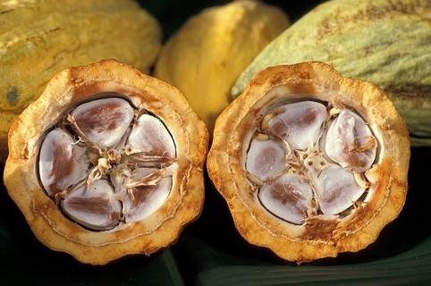 たくさんの健康効果がある2つに割られた新鮮なカカオ豆