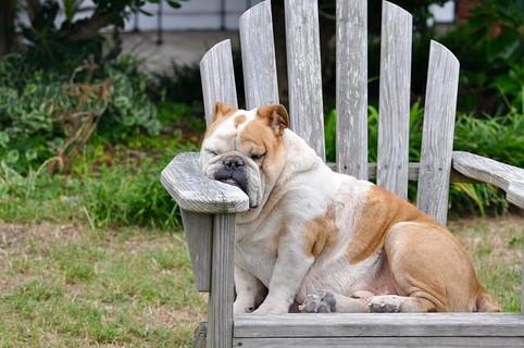 バレンタインなんてどうでもいい。という顔で椅子に座り肘掛にけだるそうに顔を乗せるブルドッグ