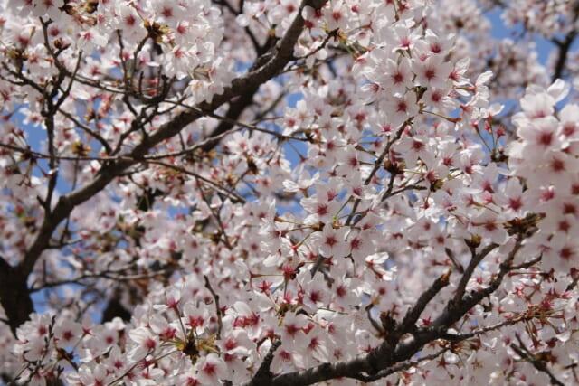 青空の中でピンク色の花を一斉に咲かせる優しいピンク色のソメイヨシノ