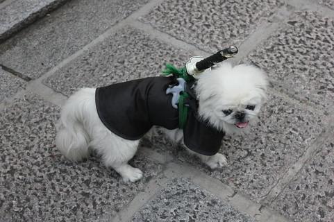 黒い服を着て日本刀とシュリケンを背負った日本フリークの白い犬