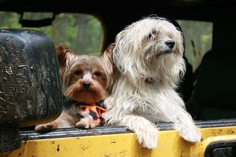 外に出ようとせず車の窓から外を眺める二匹の犬