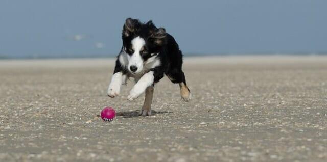 大好きなボールを必死で追いかけるボーダーコリー