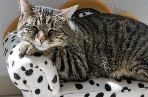 ダルメシアン柄のソファの上で安心しきって眠るトラ猫