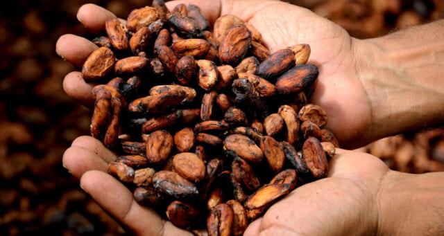 農家で収穫されたばかりの新鮮なカカオ豆