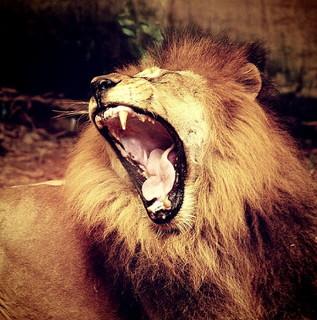 欠伸をしてのん気なオスライオン