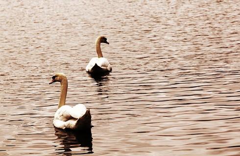 近づかずに離れて泳ぐ二匹のアヒル